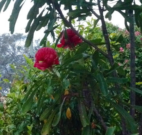 Waratahs are native to this area.